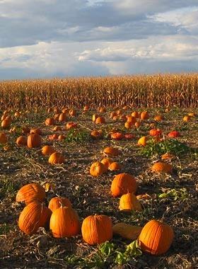 Marana pumpkin patch & farm festival attraction guide | tucsontopia.