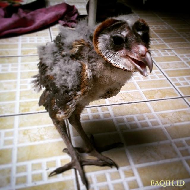 Anak Tyto Alba