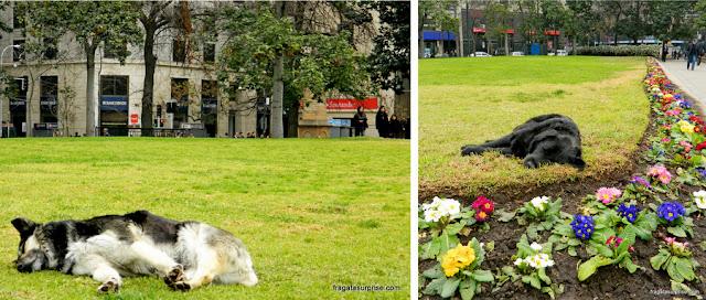 Cães de rua em frente ao Palácio de La Moneda, Santiago do Chile