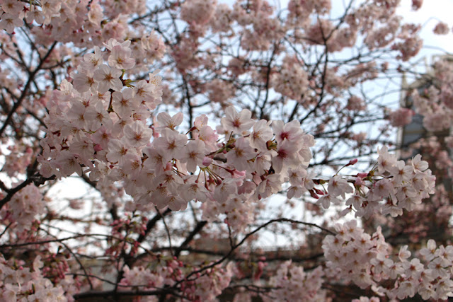 cerisiers en fleur - Astate