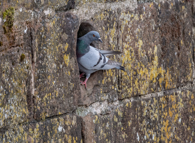 Photo of a pigeon guarding the entrance to the hole in the wall where they are nesting