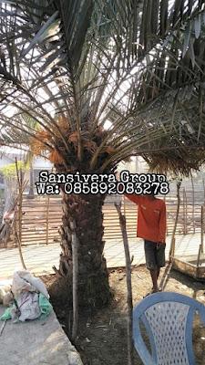 Pohon Korma berbuah lebat