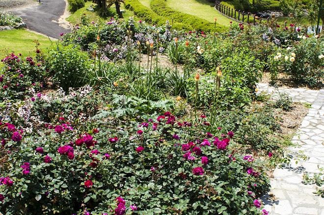花の木農場の2016年5月のバラ花壇
