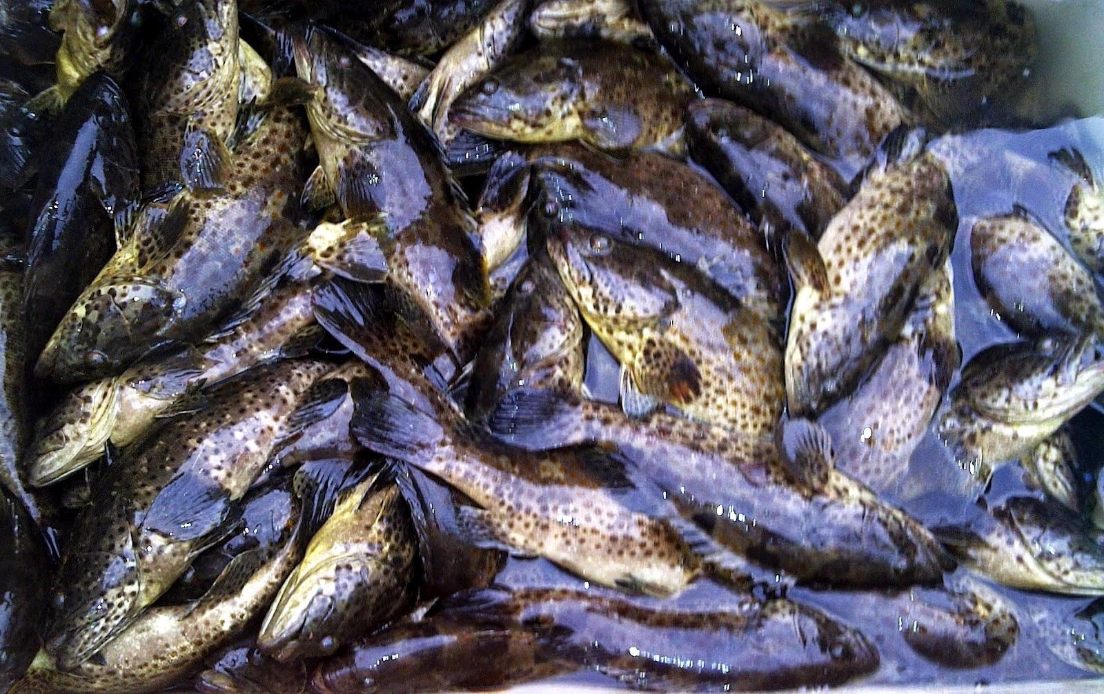 Panduan Cara Budidaya Ikan Kerapu