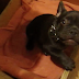 This french bulldog doesn't want to go to bed. His argument is great!