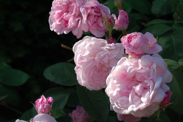 Rosa 'Jaques Cartier'