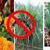 """6 Tanaman Pengusir Nyamuk Yang Boleh Anda Tanam di Rumah """"Elak Demam Berdarah Dengue"""""""