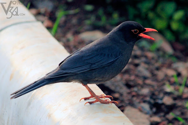 Indian Blackbird Male (23.5-29 cm) - Ooty