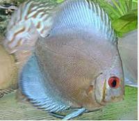 Sejarah Ikan Hias Discus ikan air tawar