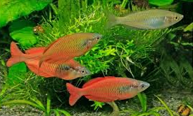 Ikan Pelangi Jenis Ikan Hias Yang Menjadi Favorit Luar Negri