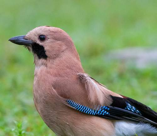 Indian birds - Photo of Eurasian jay - Garrulus glandarius