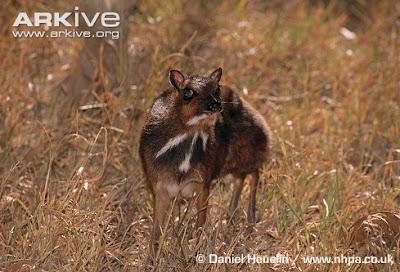 Balabac mouse Deer