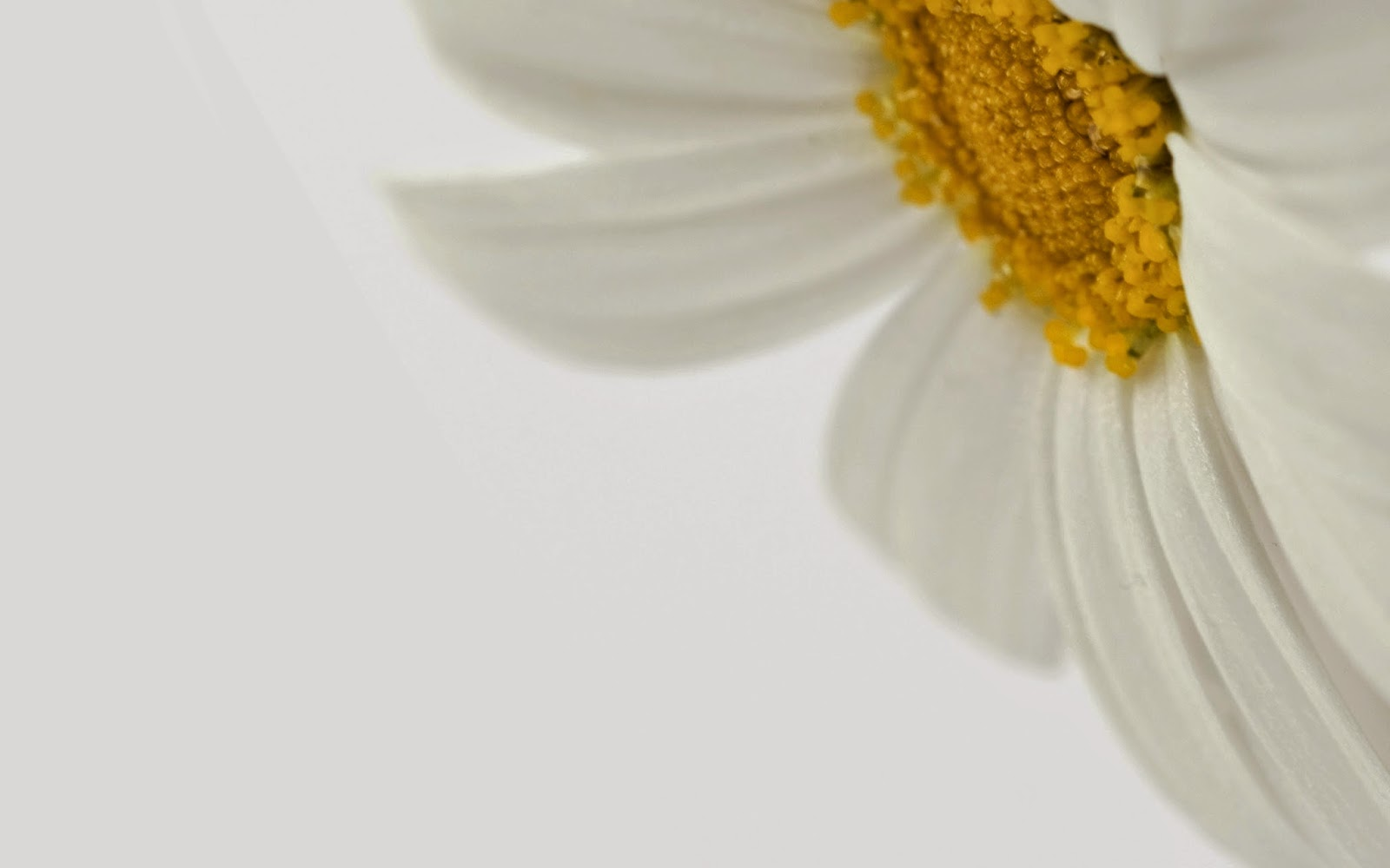 Daisy Flower Wallpaper White BG For Desktop PC