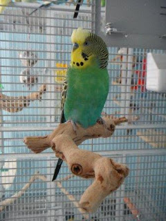Circus the Budgie - Bird Room