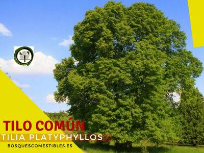 Tilo Común, Tilia platyphyllos, tilo de hoja ancha o tilo de hoja grande