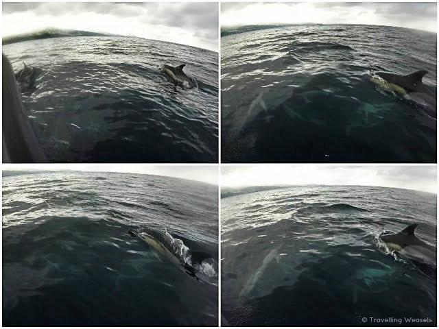 sao miguel azores dolphin