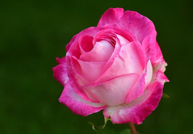 Eine rosafarbene Rose vor grünem Hintergrund.
