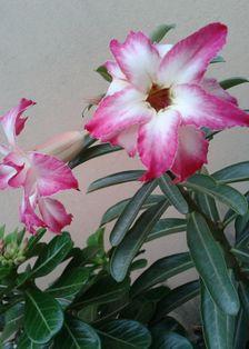 Gambar Bunga Adenium yang Unik dan Cantik 20