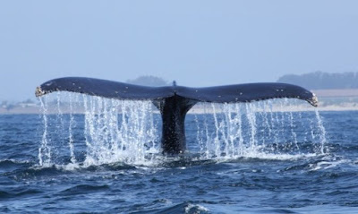 Mistero balene in Argentina, fino all'anno scorso morivano a centinaia, quest'anno invece sono arrivate a migliaia