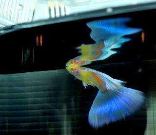 Begini tips ikut kontes ikan guppy