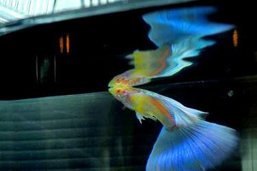 Mau Ikut Kontes Guppy? ini dia Kriteria Penilaian Kontes Ikan Guppy