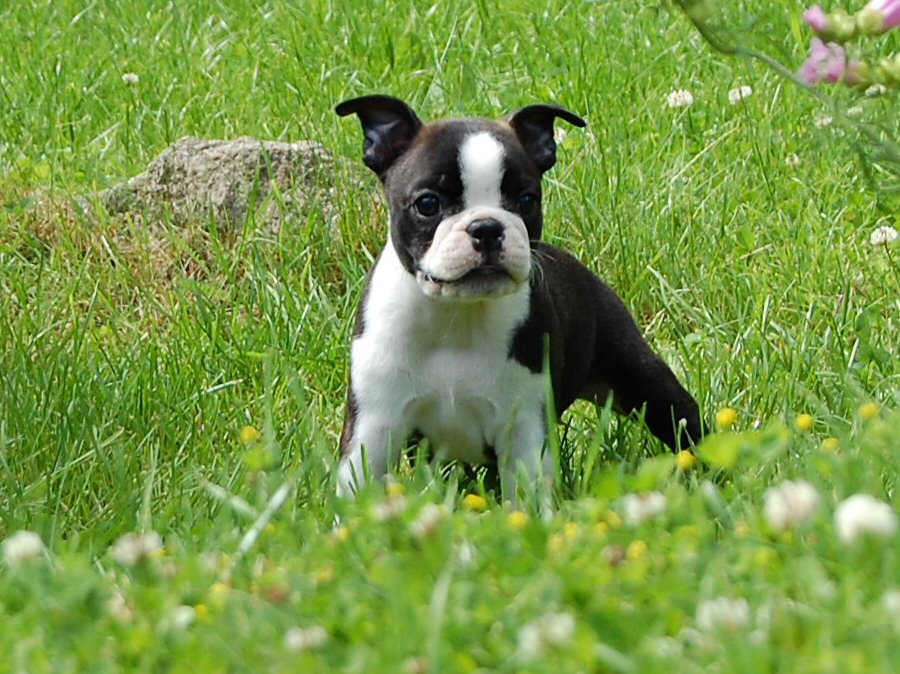 Boston Terrier Dog with Pictures
