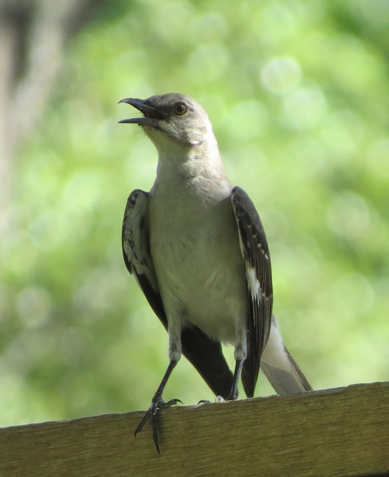 Picture of a mocking bird singing.