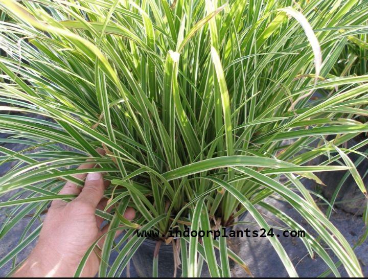 indoor plant carex morrowii variegata cyperaceae. Black Bedroom Furniture Sets. Home Design Ideas