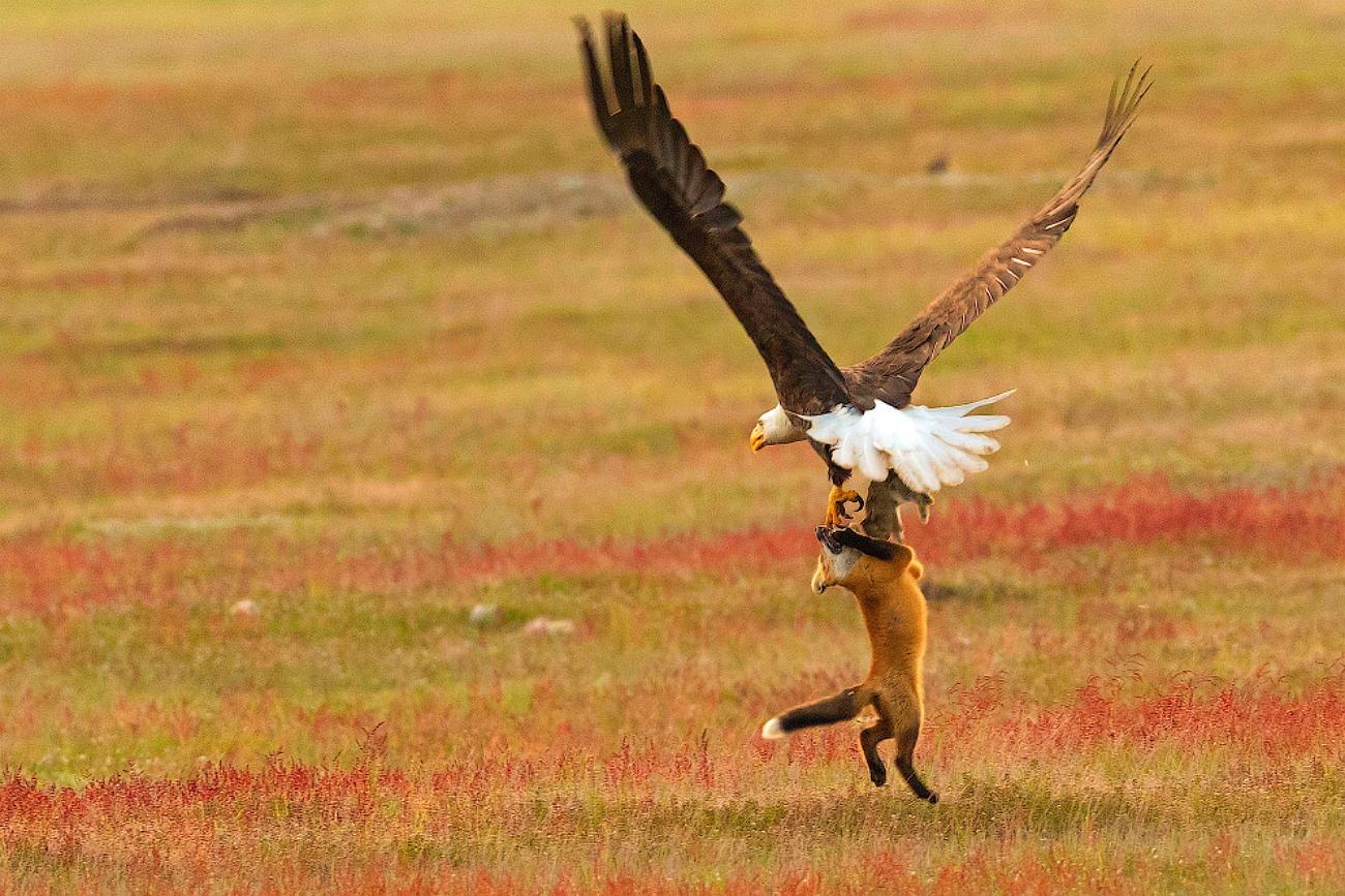 данный картинки орел и лиса манчестера