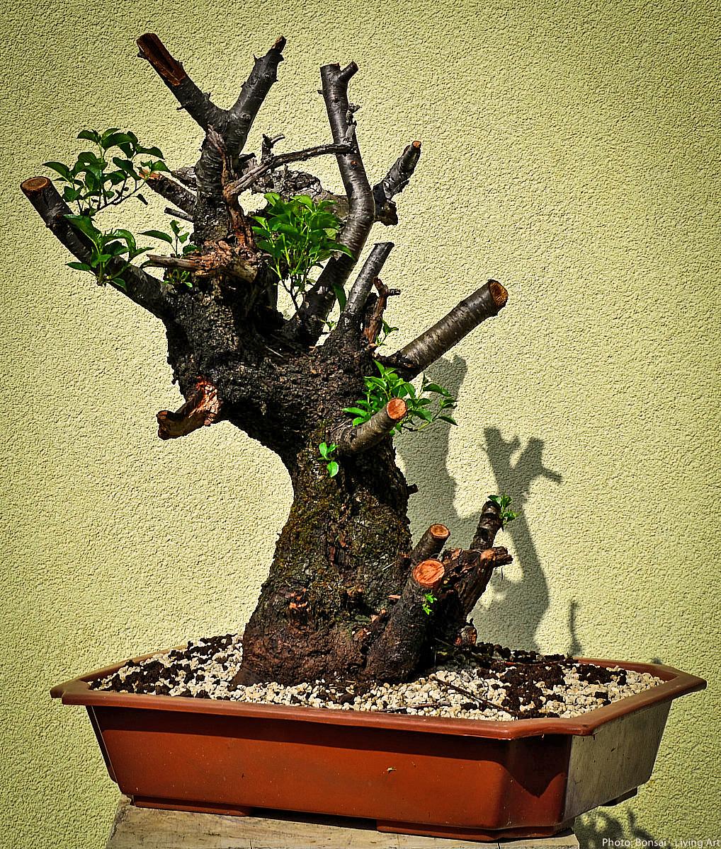 Bonsai Living Art Prunus Mahaleb Progress 2014 2016