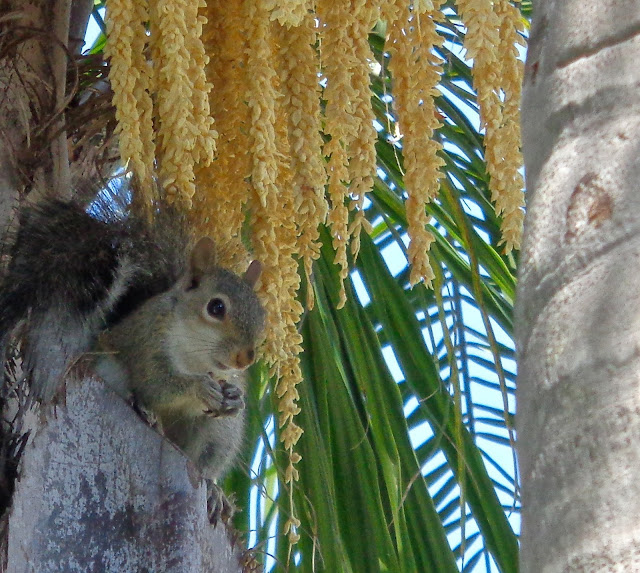 Squirrel siting in a palm tree and eating a snack