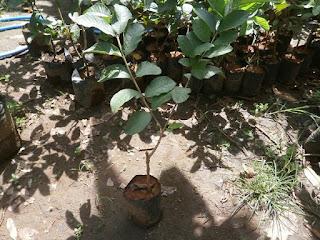 bibit jambu bangkok | cara perawatan jambu bangkok | jual bibit jambu bangkok | cara menanam jambu bangkok | pohon jambu bangkok