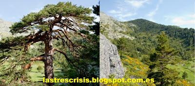 Pinus sylvestris en la sierra de Guadarrama.
