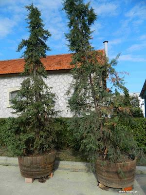 Μεγάλα δέντρα σε γλάστρες
