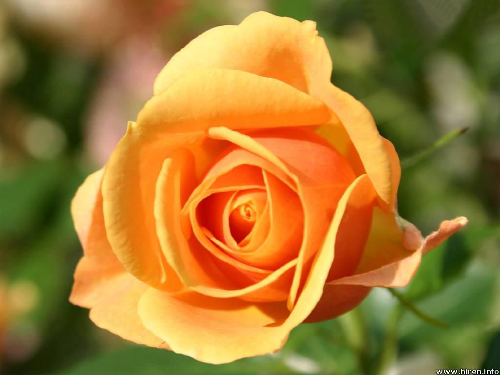 Yellow Rose Flowers - Flower HD Wallpapers, Images, PIctures, Tattoos and Desktop Background