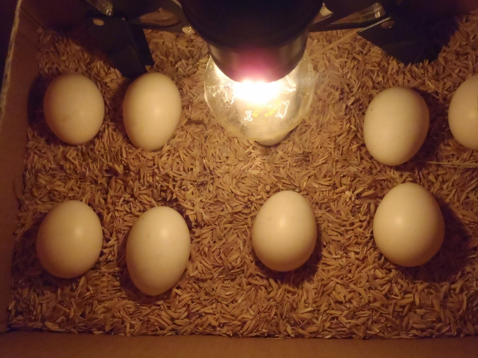 Trik Untuk Mengetahui Umur Telur Dan Cara Menentukan Kesegaran Telur Ayam