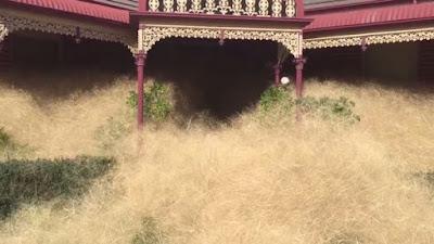 Moradores atemorizados por la invasión de hierbas peludas en Australia