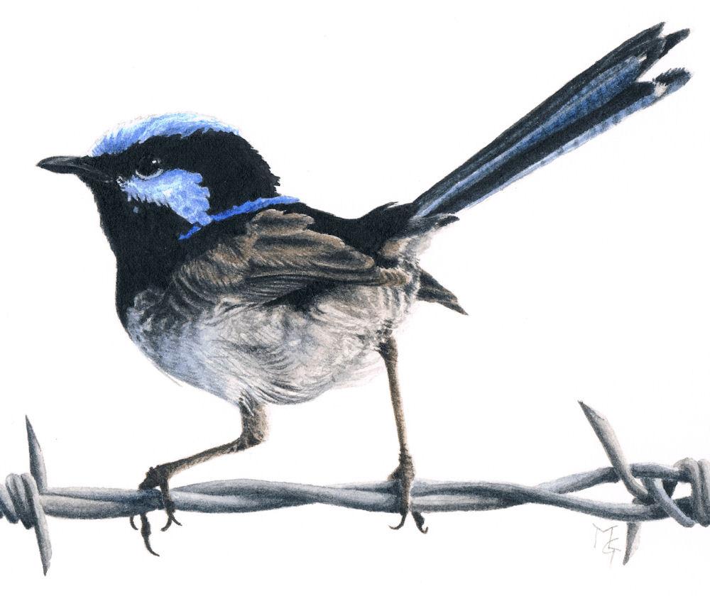 Blue Fairy Wren Paintings