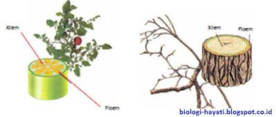 Pengertian, Persamaan dan Perbedaan Xilem dan floem