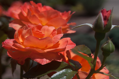 a photo of orange roses
