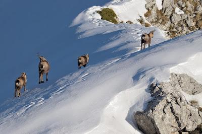 camosci sulla neve
