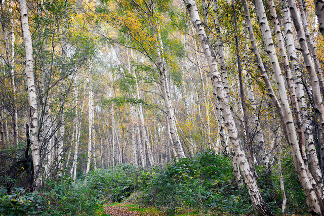 Path through the towering silver birch trees at Holme Fen in Cambridgeshire