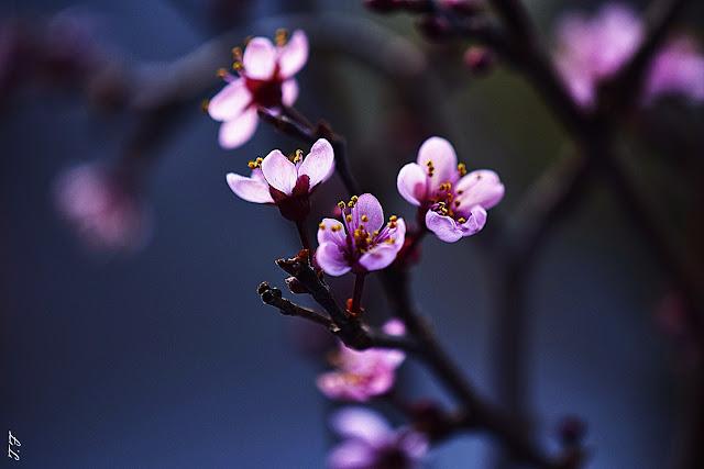 Sakura Macro Bild,Weilburger Tageblatt