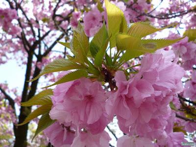 葉が御病気の桜