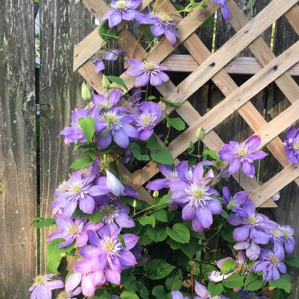 purple flowers rustic fence trellis