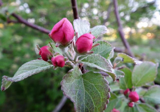 omenapuu, omenankukka, nuppu, kevät