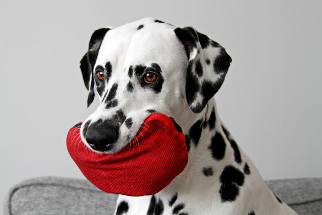 Dalmatian dog playing with a red dog toy