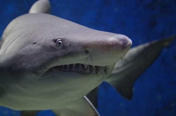 shark - سمك قرش