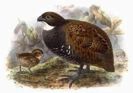 Black breasted Wood-quail