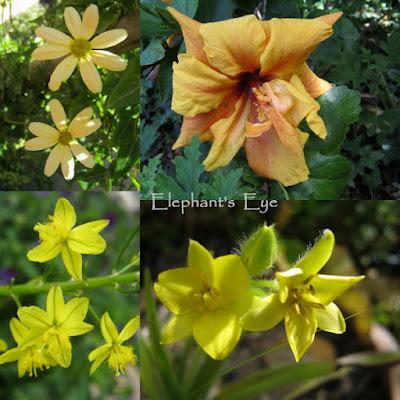 Senecio, Hibiscus Bulbine, Hypoxis